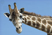 Animalsandearth Photos - Reticulated Giraffe  by San Diego Zoo