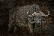 Cape Buffalo Prints - Retired General Print by Mike Gaudaur