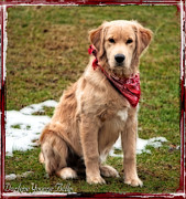 All - Retriever Puppy In Red Bandana by Darlene Bell