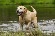 Fetching Water Prints - Retriever Walking Out Of Water Print by Gerald Marella