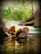 Silver River State Park Framed Prints - Rhesus Monkey Silver Springs 1 Framed Print by Sheri McLeroy