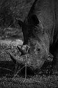 Michael Edwards - Rhino black and white