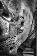 Rhinoceros Framed Prints - Rhino Framed Print by Emily Stauring