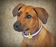 Janine Robertson - Rhodesian Ridgeback