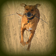 Dog With Stick Prints - Rhodesian Ridgeback Print by Mim White