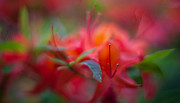 Azalea Prints - Rhododendron Color Dream Print by Mike Reid