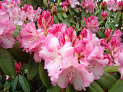 Popular Framed Prints Posters - Rhododendron Garden art Prints Pink Rhodie Flowers Poster by Baslee Troutman Fine Art Prints