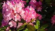 John Baumgartner - Rhododendron in bloom