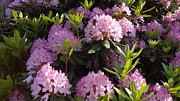 Rhododendron Print by John Baumgartner