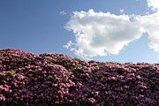 Rhododendron Print by Melissa Petrey