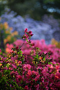 Rhododendron Photos - Rhododendron Pink Dream by Mike Reid