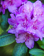 Phyllis Peterson - Rhododendron Portrait