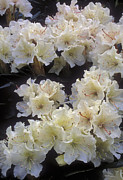Floral Photos - Rhododendrons by Anonymous