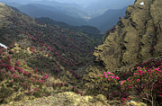 Rhododendron Flowers Framed Prints - Rhododendrons bloom in the Chopta Valley Framed Print by Rohit Chawla