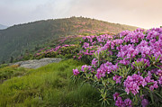 North Carolina Mountains Posters - Rhododendrons on Grassy Ridge at Roan Mountain Poster by Keith Clontz