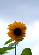 Sunflower Art - Rhythm of her Own by Sweet Moments Photography