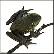 Leaf Photos - Ribbeting frog in a bucket by LeeAnn McLaneGoetz McLaneGoetzStudioLLCcom
