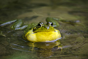Green Frog Prints - Ribbit Print by Christina Rollo