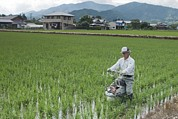 Science Photo Library - Rice farming, Mie...