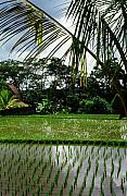 Asien Framed Prints - Rice Fields Bali Framed Print by Juergen Weiss