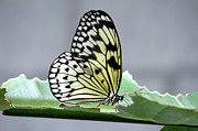Rice Paper Butterfly On A Leaf Print by Inspired Nature Photography By Shelley Myke