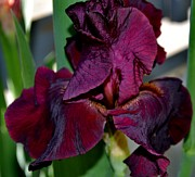 Eva Thomas - Rich Colored Iris