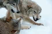 Wolves Photos - Right of Passage by Sandra Bronstein