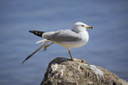 Gary Hall - Ring-billed Gull 2