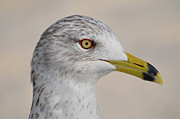 Amber Bobbitt - Ring-Billed Gull