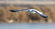 Larus Delawarensis Prints - Ring Billed Gull in Flight Print by Loree Johnson