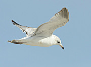 Larus Delawarensis Prints - Ring-billed Gull Inflight Print by Susan Ellison