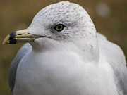 Larus Delawarensis Photos - Ring-billed Gull by Janelle Streed