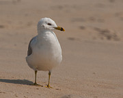 Larus Delawarensis Prints - Ring-billed Gull Print by Scott Bush