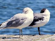 Bird Photos - Ring-Billed gulls by Zulfiya Stromberg