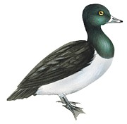 Aquatic Drawings - Ring-necked duck  by Anonymous