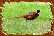 Picturesque Digital Art Posters - Ring-Necked Pheasant Poster by Will Borden