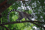 Ring-tailed Lemur Photos - Ring-tail Above by Skip Willits