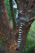 Ring-tailed Lemur Photos - Ring-tail Lemur  by Skip Willits