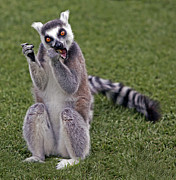 Lawrence Graves - Ring tailed lemur