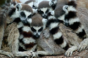 Berenty Posters - Ring-tailed Lemur Lemur Catta Group Poster by Cyril Ruoso