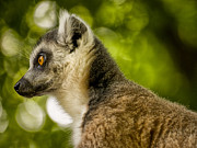 Lemur Catta Framed Prints - Ring Tailed Lemur - Lemur catta Framed Print by Jay Lethbridge