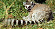 Jacksonville Framed Prints - Ring-tailed Lemur Lemur Catta Framed Print by Millard H. Sharp