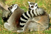 Lemur Sp Framed Prints - Ring-tailed Lemur Lemur Catta Pair Framed Print by Millard H. Sharp