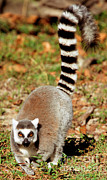 Lemur Sp Framed Prints - Ring-tailed Lemur Lemur Catta Walking Framed Print by Millard H. Sharp