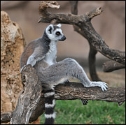 Old Pueblo Photography - Ring Tailed Lemur