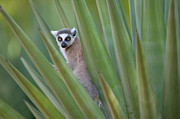 Lemur Catta Framed Prints - Ring Tailed Lemur Peeking Framed Print by Cyril Ruoso