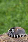 Curled Up Posters - Ring-tailed Lemur Sleeping Poster by Pete Oxford