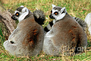 Ring-tailed Lemur Photos - Ring-tailed Lemurs Lemur Catta by Millard H. Sharp