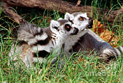 Lemur Photos - Ring Tailed Lemurs by Millard H. Sharp