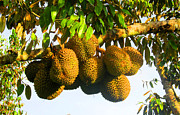 Local Delicacy Prints - Ripe Durian Cluster Print by Tina M Wenger